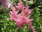 astilbe, астильба Country and Western (Кантри энд Вестерн)