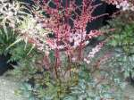 astilbe, астильба Delft Lace (Дельфт Лейс)