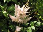 astilbe, астильба White Wings (Уайт Уингс)