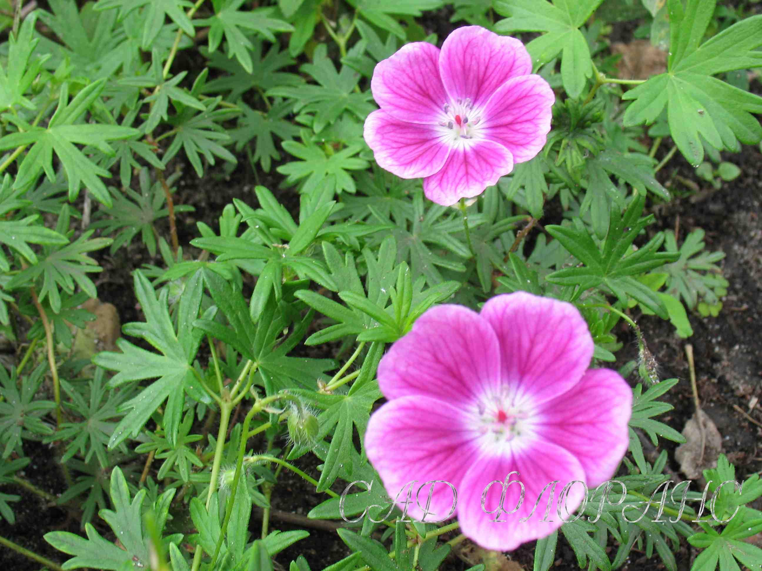 25 3 цветы тёмно розовые с красным