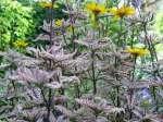 Сад флоранс декоративные гелиопсис