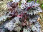 heuchera, ������� Color Dream
