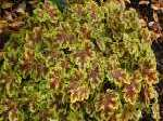 heucherella, ���������� Solar Power