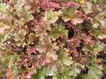 heuchera, ������� Purple Petticoats