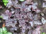 heuchera, ������� Silver Light