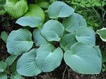hosta, хоста Blueberry Muffin