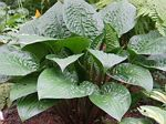hosta, хоста Celtic Uplands