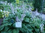 hosta, хоста Chief Sitting Bull