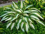 hosta, хоста Cool As A Cucumber