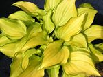hosta, хоста Cracker Crumbs