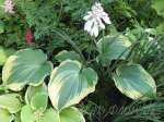 hosta, хоста Earth Angel
