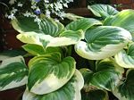 hosta, хоста Fragrant Queen