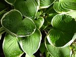 hosta fortunei, хоста фортунеи Francee