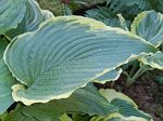 hosta, хоста Gone with the Wind