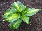 hosta, хоста Hollywood Lights