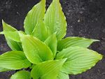 hosta, хоста Invincible Spirit