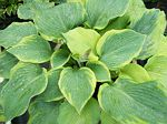 hosta, хоста Jewel of the Nile