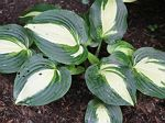 hosta, хоста Lakeside Meter Maid