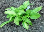 hosta, хоста Red Hot Flash