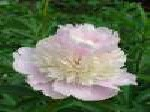 paeonia, пион Angel Cheeks