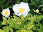 paeonia, пион Golden Angel