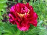 paeonia, пион Old Faithful