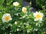 paeonia, пион Soft Lemon Kisses