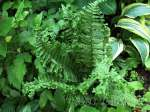 dryopteris offinis The King