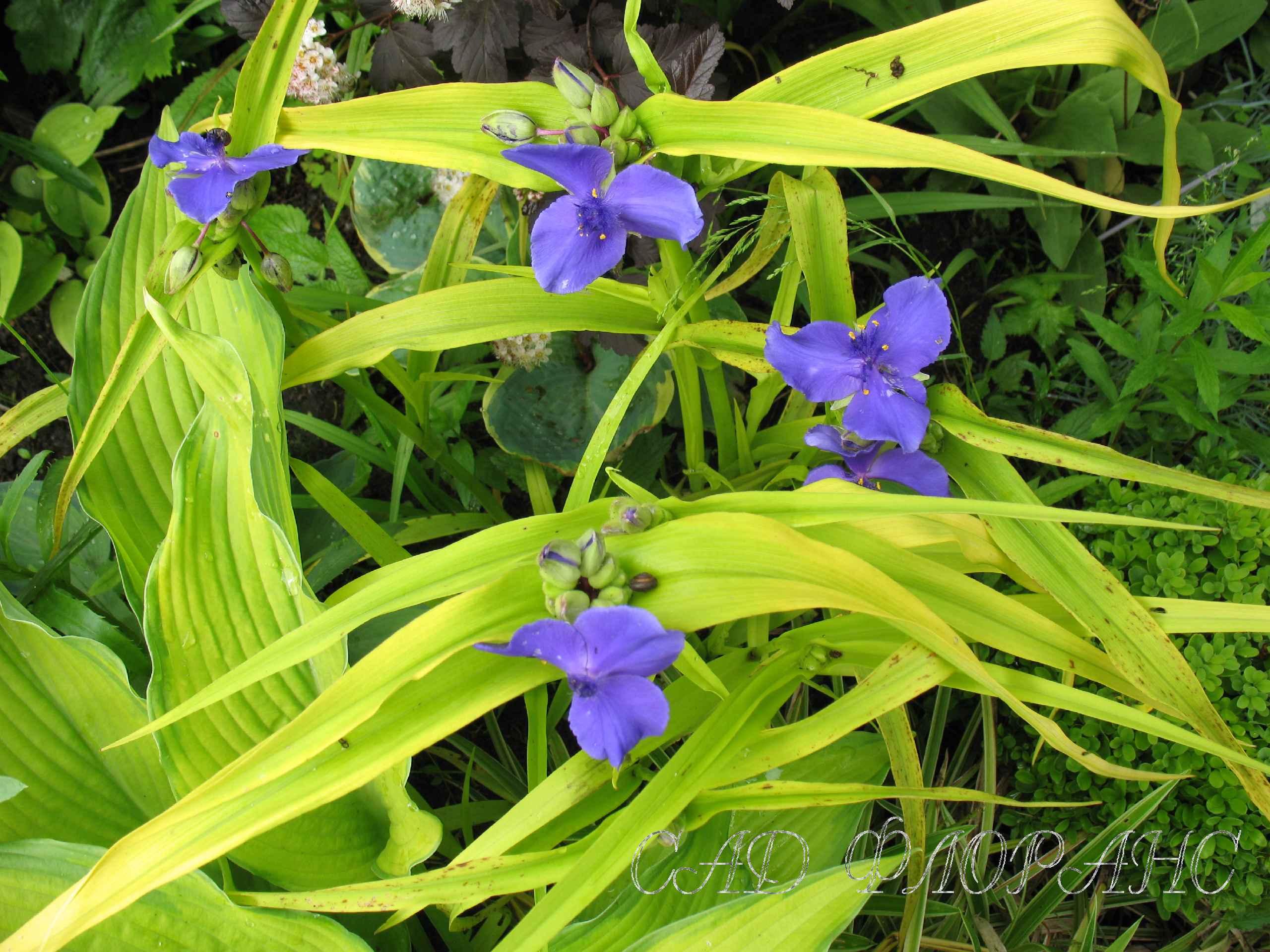 40 4 цветы синие трёхлепестковые